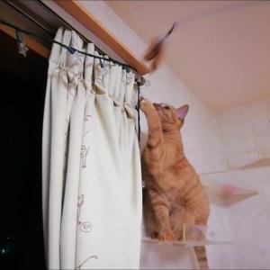 キャットウォークでお誘い 羽根おもちゃ 猫動画