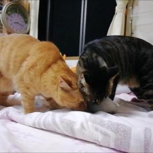 またたびの粉 フリフリ 猫動画