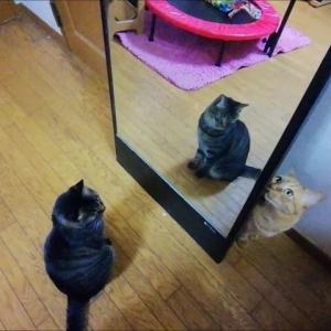 タマゴケースのピラピラ  を 鏡にペタ 猫動画