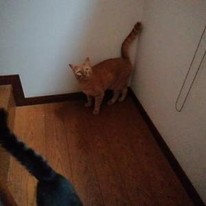 階段の踊り場でニャオスカ君 猫動画