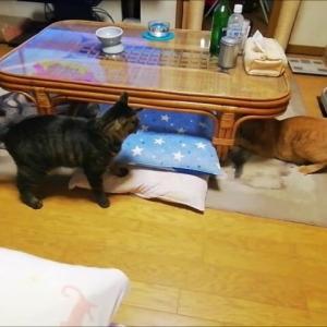 夜の大運動会 猫動画