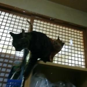 棚上からはじまった・・・猫動画