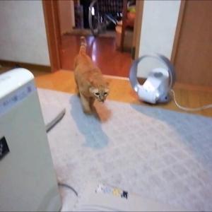 新作の毛玉ボールで 持って来い遊び 猫動画