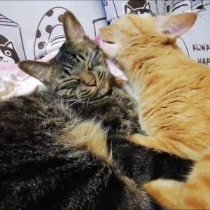 コンビで ラブラブ寝 はじめました 猫動画