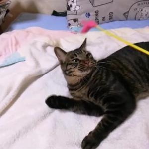 ピンクジャラシ で ノリノリ 猫動画