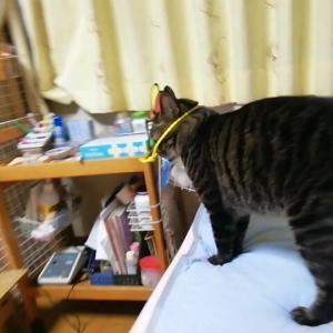 八つ当たりする猫 猫動画