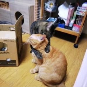 箱穴に 顔ハメ 猫動画