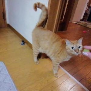 スーパーボールで跳ね跳ねニャン 猫動画