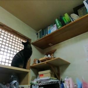 滅多にあがらない棚上に行った 猫動画