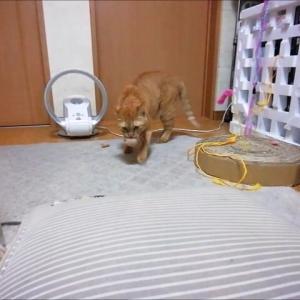 毛玉ボールのアラカルト遊び 猫動画
