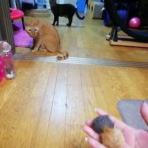 2つ以上の毛玉ボールを 投げたら・・・どうなる 猫動画