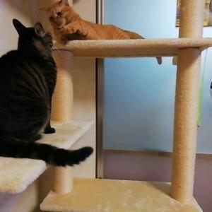 タワーでワチャワチャ遊び 猫動画