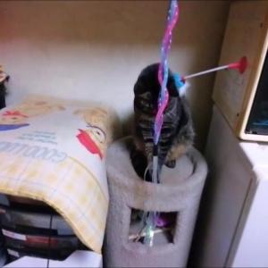 ジャラシ巻き巻き 猫動画