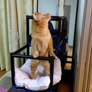 ガムテでジャラシを貼ってみた 1 猫動画