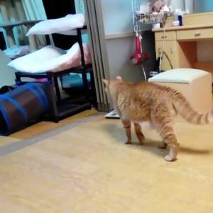 タヌキシッポの理由は・・・ 猫動画