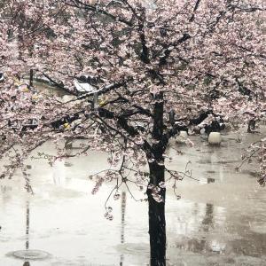 春の雪です