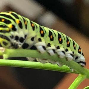 キアゲハの幼虫凄い食欲