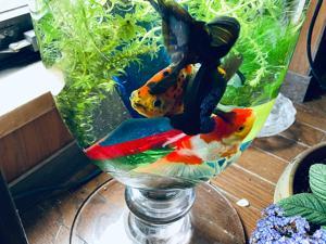 5/24  居間の金魚3匹亡くなりました😓