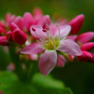 ★赤蕎麦の花 .。oO