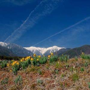 ★雪山に映える水仙 .。oO