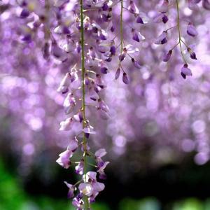 ★「鬼滅の刃」で注目された藤の花 .。oO