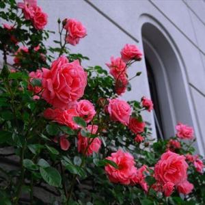 ★薔薇百景 その1 .。oO