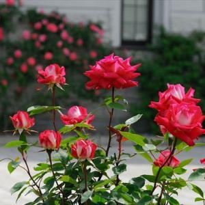 ★薔薇百景 その3 .。oO