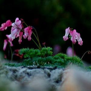 ★高山植物の女王コマクサ その3 .。oO