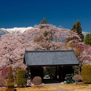 ★蔵沢寺の桜 .。oO