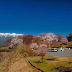 ★大草城址公園の桜Vol.1 .。oO