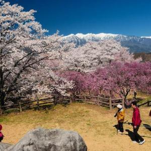 ★大草城址公園の桜Vol.2 .。oO