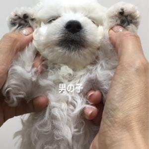 ビションフリーゼ子犬の初カット(生後3ヶ月半です)
