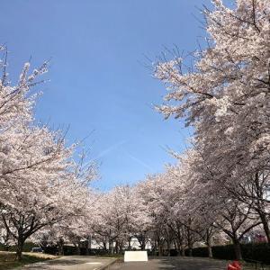 桜を見に行って来ました。