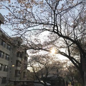 桜ドライブ1(栃木市・錦着山)