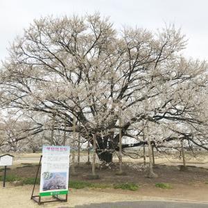 桜さんぽ1(下野市・天平の丘公園)