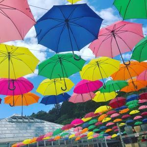 【6/11 傘の日に梅雨入】かんぴょう畑成長記⑥
