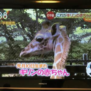 今朝のZIP!に宇都宮動物園