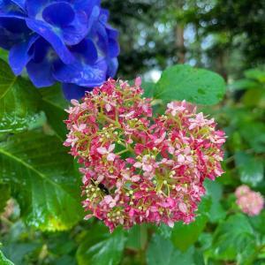 ハートの紫陽花と紫陽花の御朱印