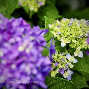 「紫陽花のうた 」Shogo Hamada