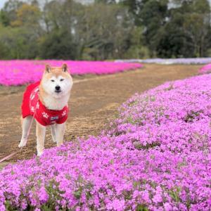 かぼちゃんにはピンクが似合う!!芝ざくらんぽしました。