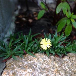 多肉植物の黄色い花