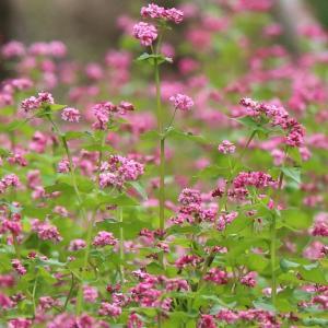 アカソバの花