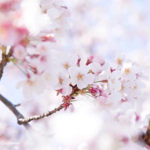 中望遠レンズは近所の公園桜撮影向け?