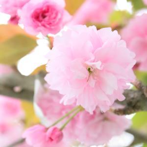 鎌倉本覚寺で八重桜の樹に出会えました