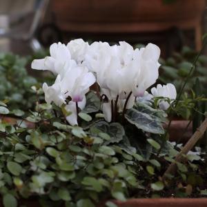 白いシクラメンの花♪