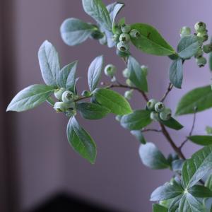 可愛い緑色の実 ブルーベリー枝物♪