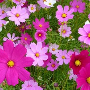 コスモスの可憐さと強さ  ピンクの色彩心理