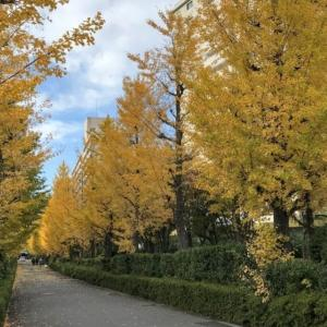 秋の訪れ、金色のイチョウ