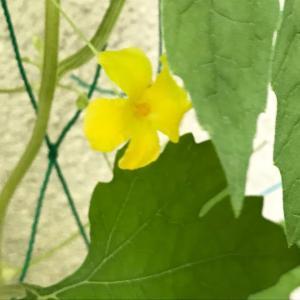 【2020ゴーヤ観察日記④】ゴーヤの花と実と、自然発芽?