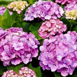 大好き♪紫陽花